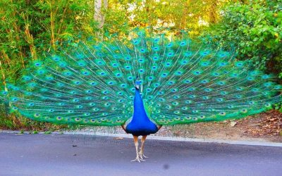 Gershwin, Feinstein, Peacocks and My Father